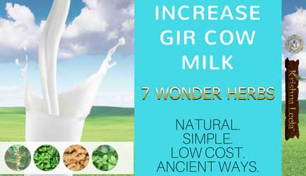 Increase Gir Cow Milk Naturally