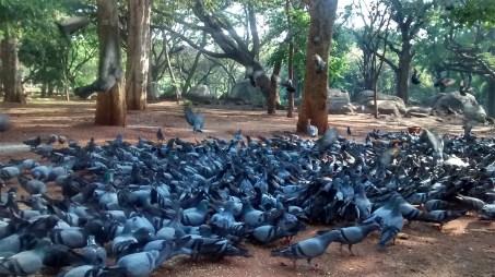 pigeons in cubbonpark