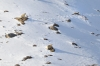 Three Snow leopards sitting