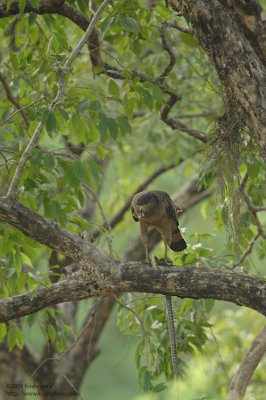 Crested Serpent eagle with prey
