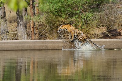 Tiger getting out of the water