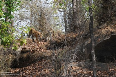 Tiger walking to its den