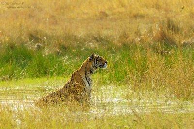 Tiger Watching Prey