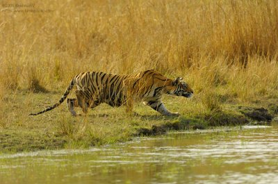 Tiger Stalking