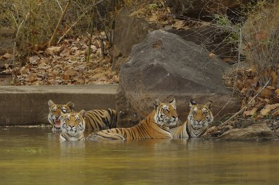 Four Tigers in Water