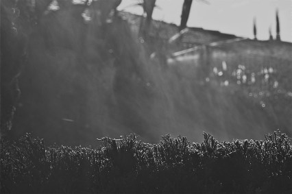 Photo of the water vapor rising from a hedge in the morning light.