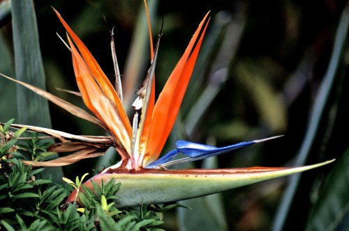 Photo of a Bird of Paradise plant peeking up from behind another bush by Kristen Koster on Flickr.com