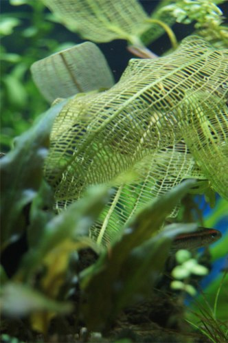 Photo of Madagascar Lace, a lacey-leafed aquarium plant by Kristen Koster on Flickr.com