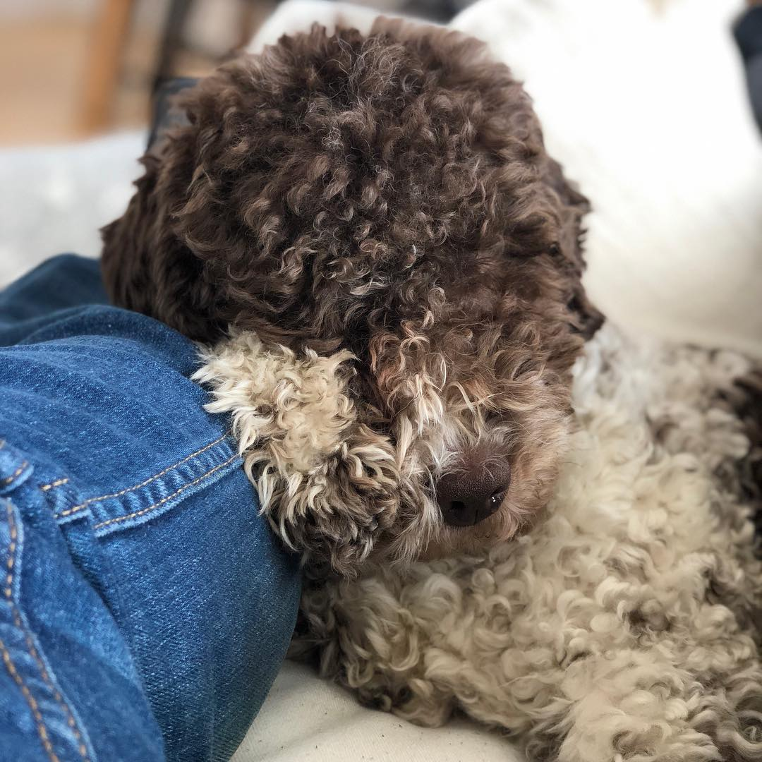Dads leg is the greatest pillow. #pappajagvillhaenitalienare #maclagotto #lagottoromagnolo #lagottosofinstagram #lagottopuppy #lagottolove #lagottostyle #lagottos #lagottodogs #lagottoromagnolos #lagottoboy #svärdsjö #dalarna #sweden #dog #dogs #dogsofinstagram #dogsofinsta @knappare @mingming_05