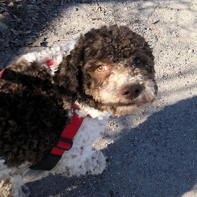 Finally a picture I look really good in. And smart!  #pappajagvillhaenitalienare #maclagotto #lagottoromagnolo #lagottosofinstagram #lagottopuppy #lagottolove #lagottostyle #lagottos #lagottodogs #lagottoromagnolos #lagottoboy #svärdsjö #dalarna #sweden #dog #dogs #dogsofinstagram #dogsofinsta @knappare @mingming_05