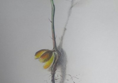 Uprooted baby oak tree – coloured pencil