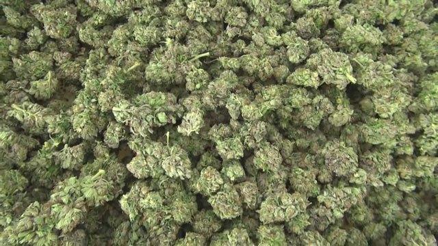 marijuana pot cannabis