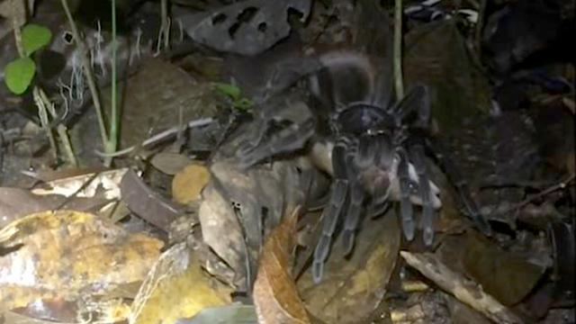 tarantula possum_1551501834722.jpg.jpg
