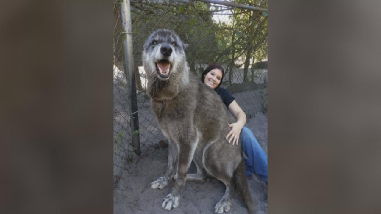 yuki the giant wolf