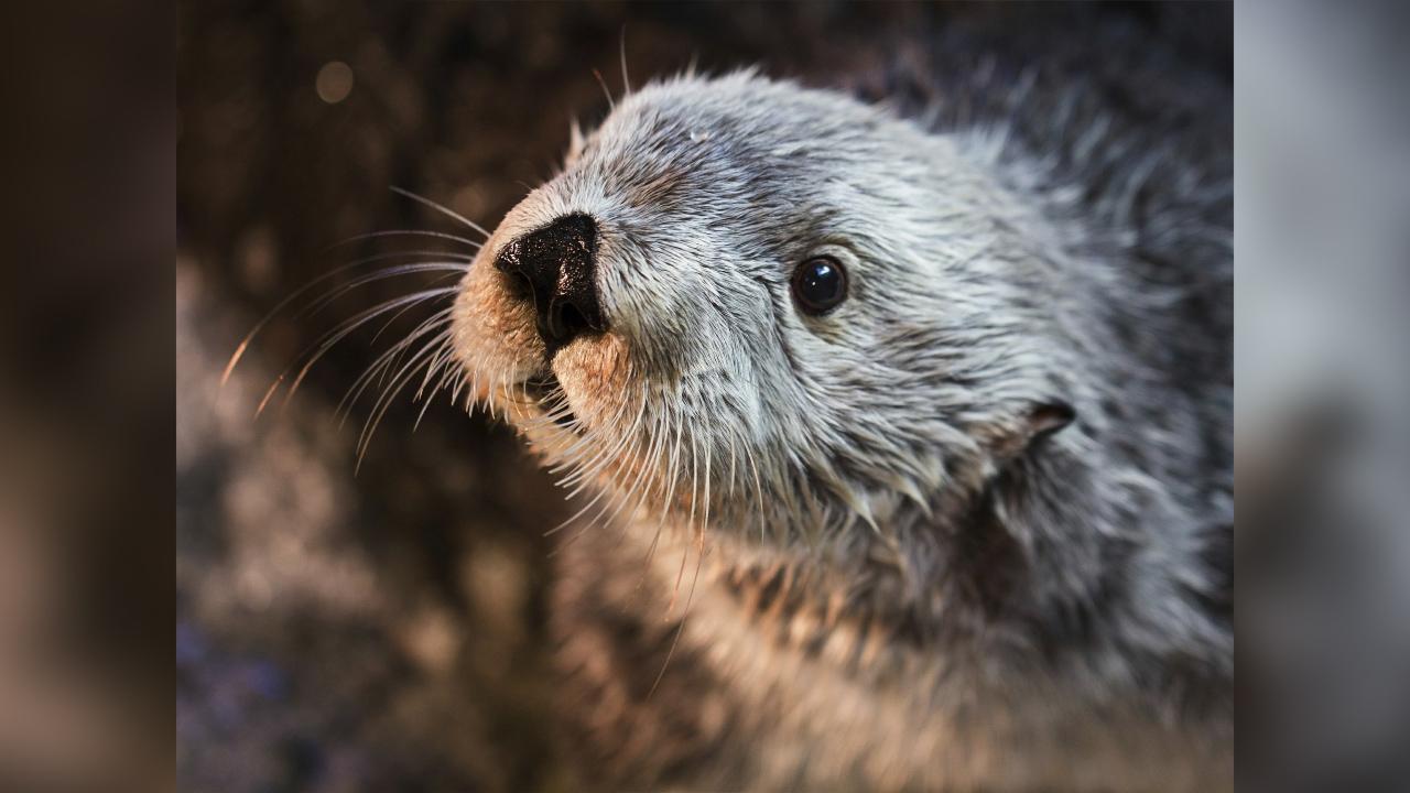 oldest sea otter dies _1555985030836.jpg.jpg