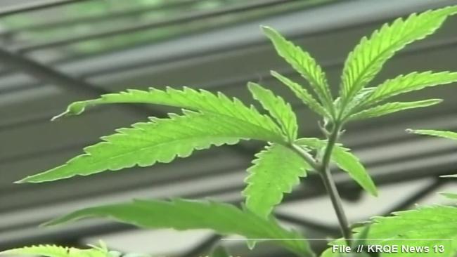 stockimg marijuana plant; close-up generic_467923