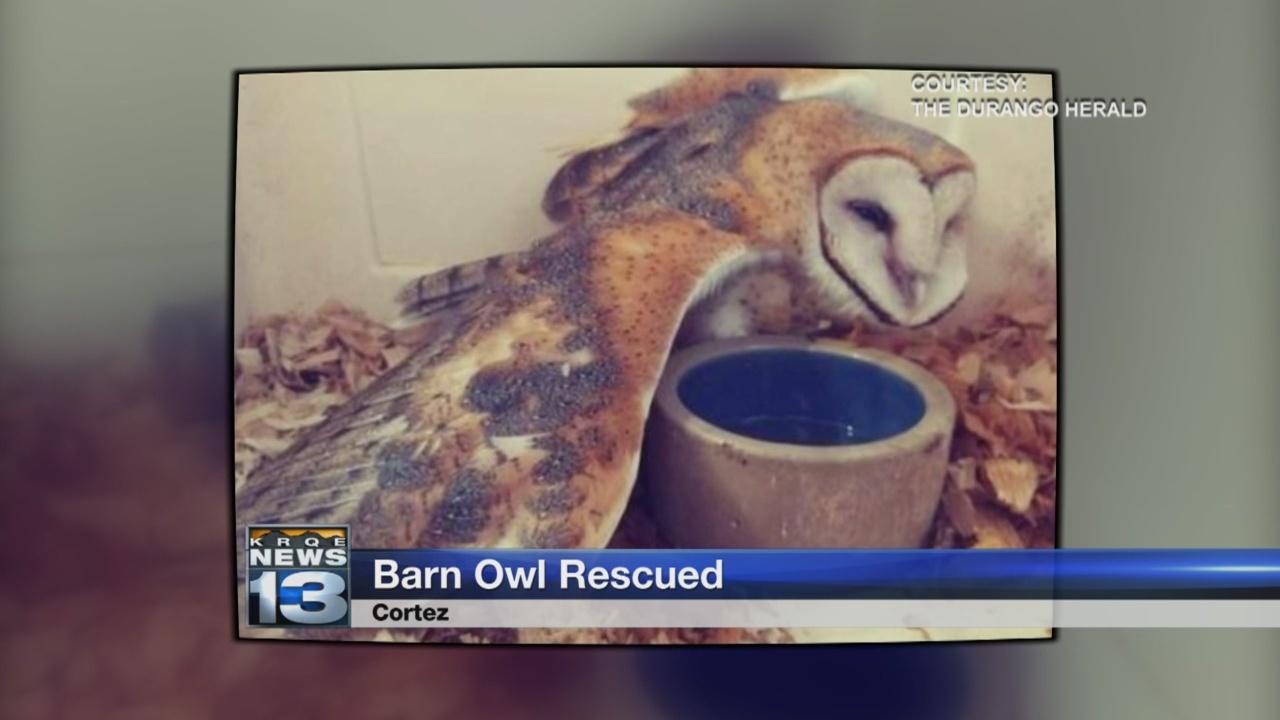 barn owl rescued_1532560541545.jpg.jpg