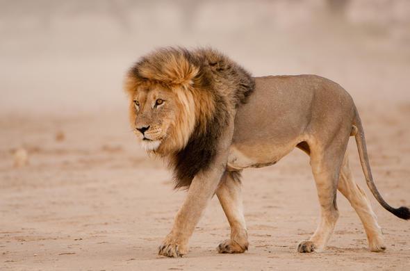 Lion Leo Panthera African Big Five Animals