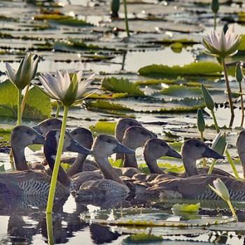 Lukimbi Lodge Ducks