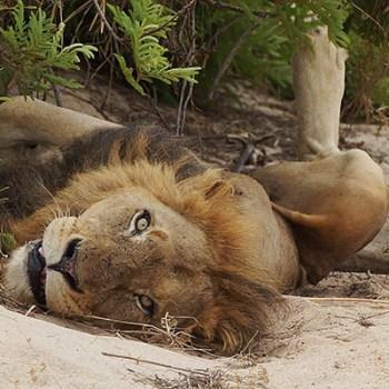 Lukimbi Lodge Lion Resting