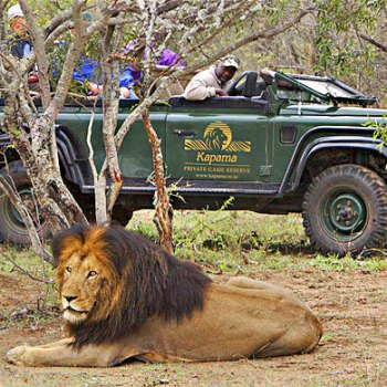 Kapama River Lodge Game Drive Lion