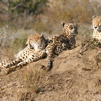 Chapungu Luxury Tented Camp Cheetah