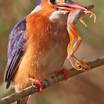 Manyatta Rock Camp Birdlife