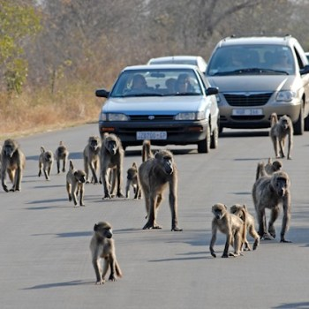 Manyatta Rock Camp Kruger Park Game Drive Baboons