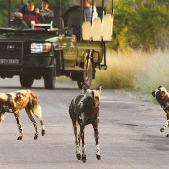 Manyatta Rock Camp Kruger Park Game Drive Wild Dogs