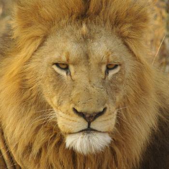 Monwana Game Lodge Lion