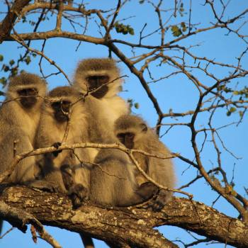 Monwana Game Lodge Vervet Monkeys