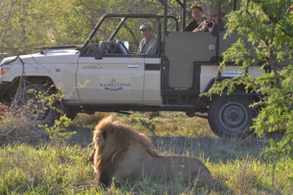Hamiltons Tented Camp Lion Viewing