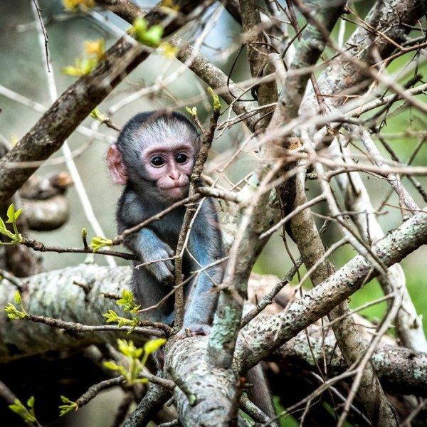Honeyguide Mantobeni Camp Baby Monkey