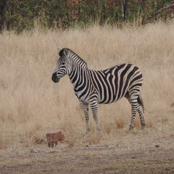 Baluleni Safari Lodge Zebra