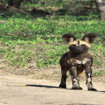 Hoyo-Hoyo Safari Lodge Wild Dogs