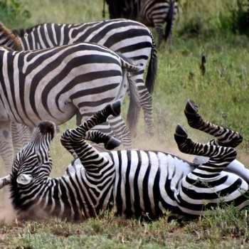 Amani Safari Camp Zebra