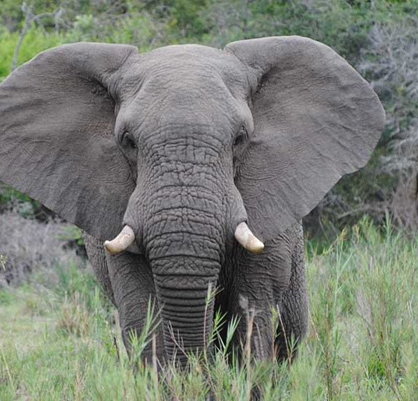 Jackalberry Lodge Wildlife Elephant