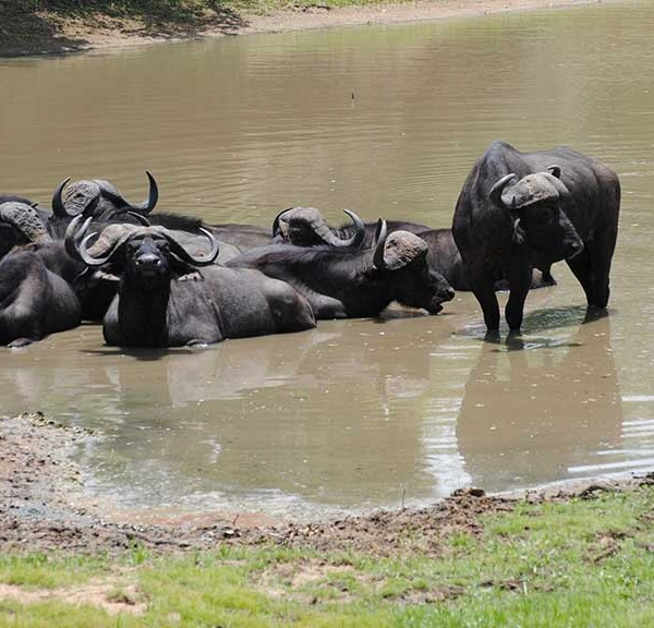 Monwana Game Lodge Wildlife Buffalo