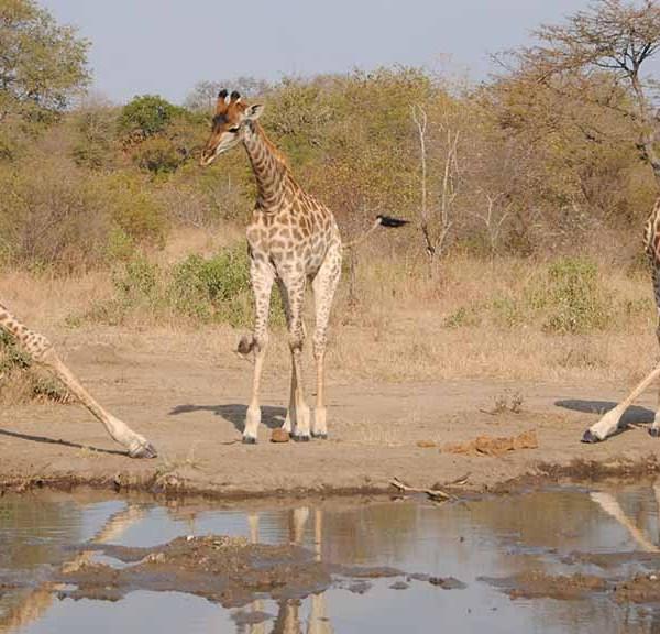 N'kaya Game Lodge Wildlife Giraffe