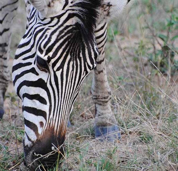 N'kaya Game Lodge Wildlife Zebra