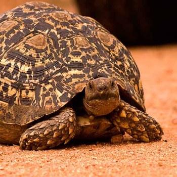 Serondella Game Lodge Wildlife Tortoise