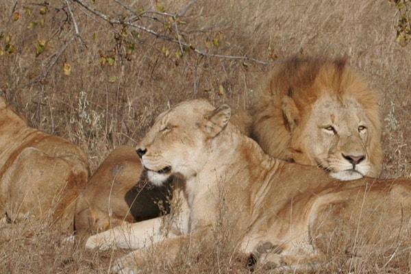 Baobab Ridge Lions