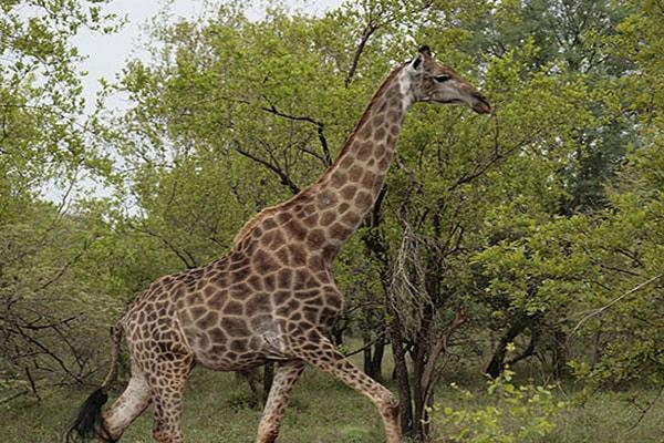 Kgoro Lodge Local Giraffe