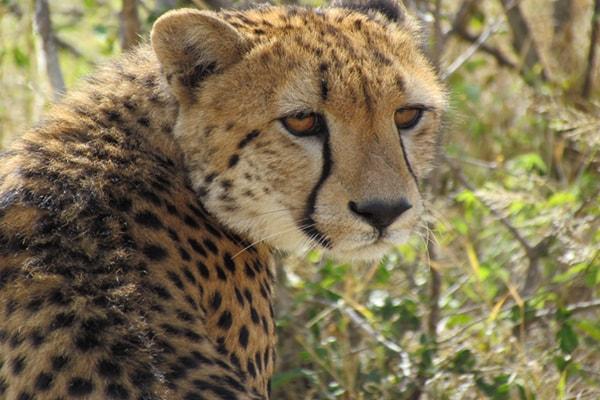 Kurhula Wildlife Lodge Male Cheetah