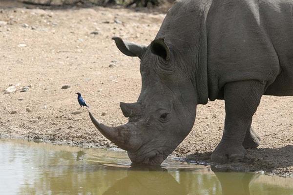 Makumu Luxury Safari Lodge Rhino