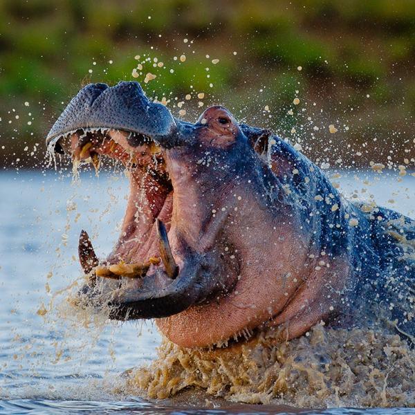 Motswari Geiger's Camp Hippo