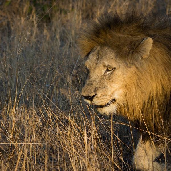 Ngala Safari Lodge Lion