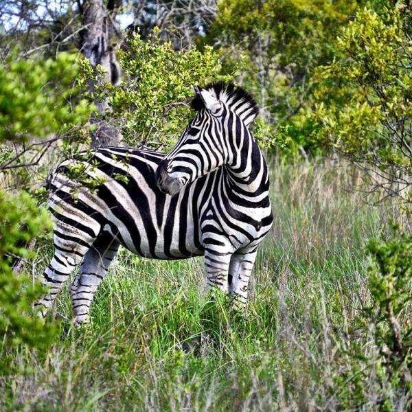 Ngala Safari Lodge Zebra
