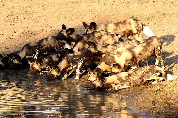 Tintswalo Manor House Wild Dogs