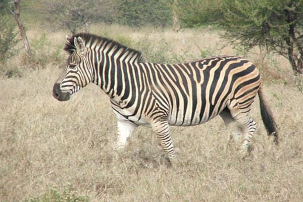 Tremisana Game Lodge Male Zebra